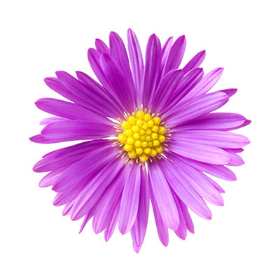 Aster isolated on white