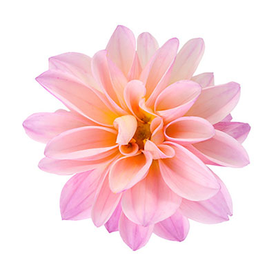Chrysanthemum isolated on white
